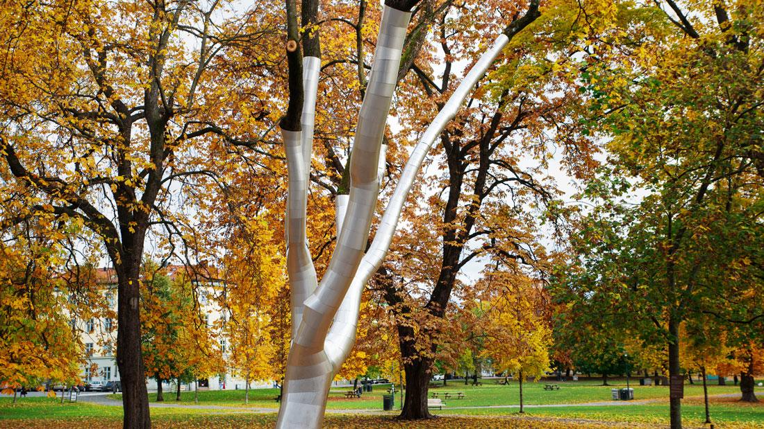 I Sofienbergparken vises det beskyttede treet godt.